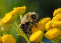 Да се доверим на пчелите и да подсилим имунитета