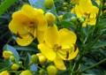 При запек, чай от майчин лист (сена)